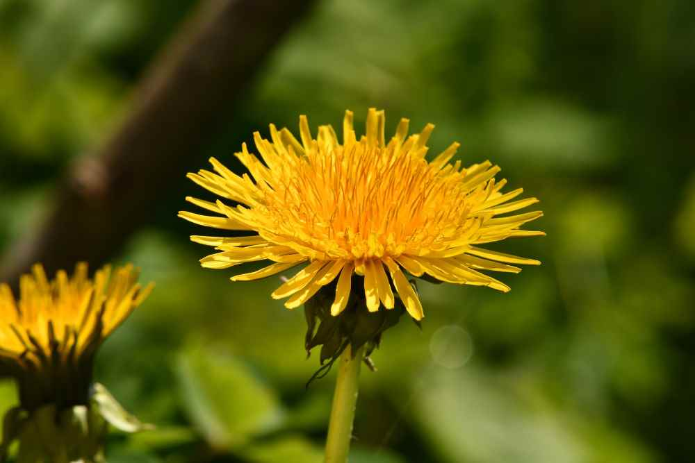 tarassaco rimedi naturali contro le allergie primaverili